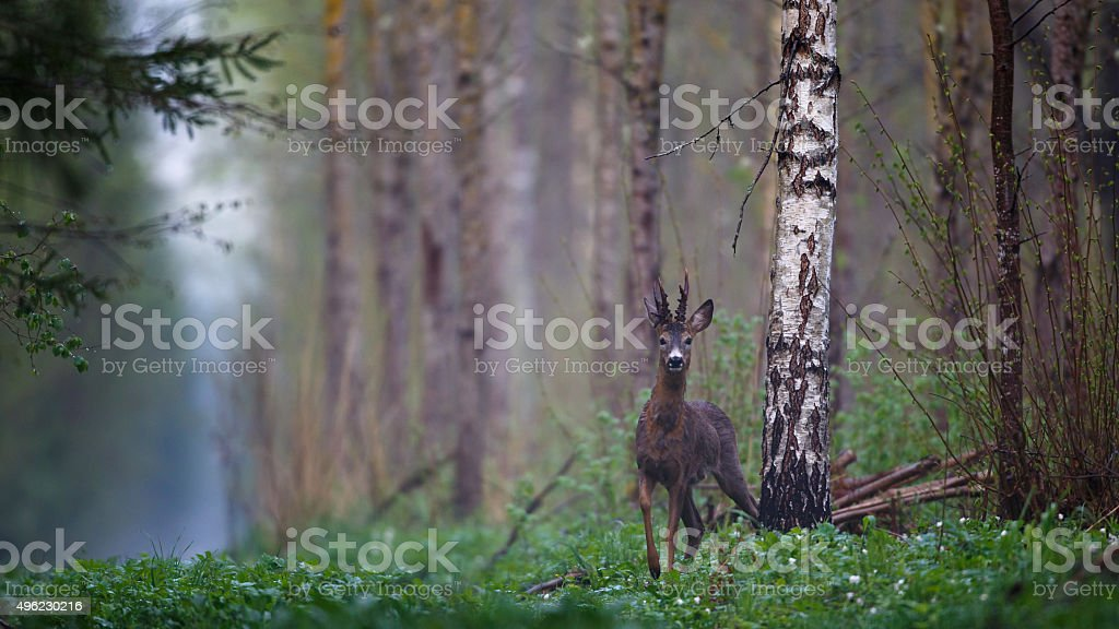 Male roe deer in forest stock photo