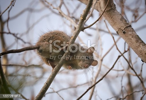 A cute brown rat peers down from a tree branch