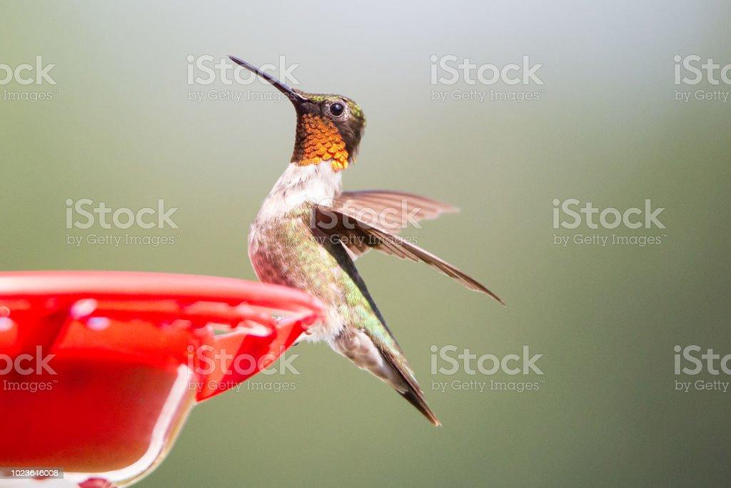 male Ruby Throated hummingbird in flight stock photo