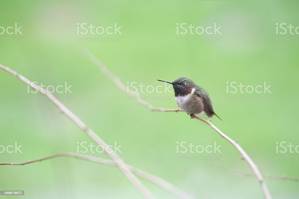 Male Ruby Throated hummingbird perched on twig stock photo