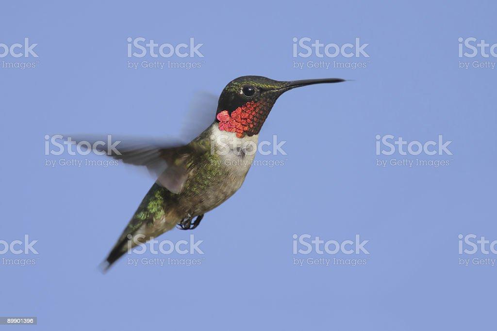 Männliche Ruby-throated Kolibri im Flug Lizenzfreies stock-foto