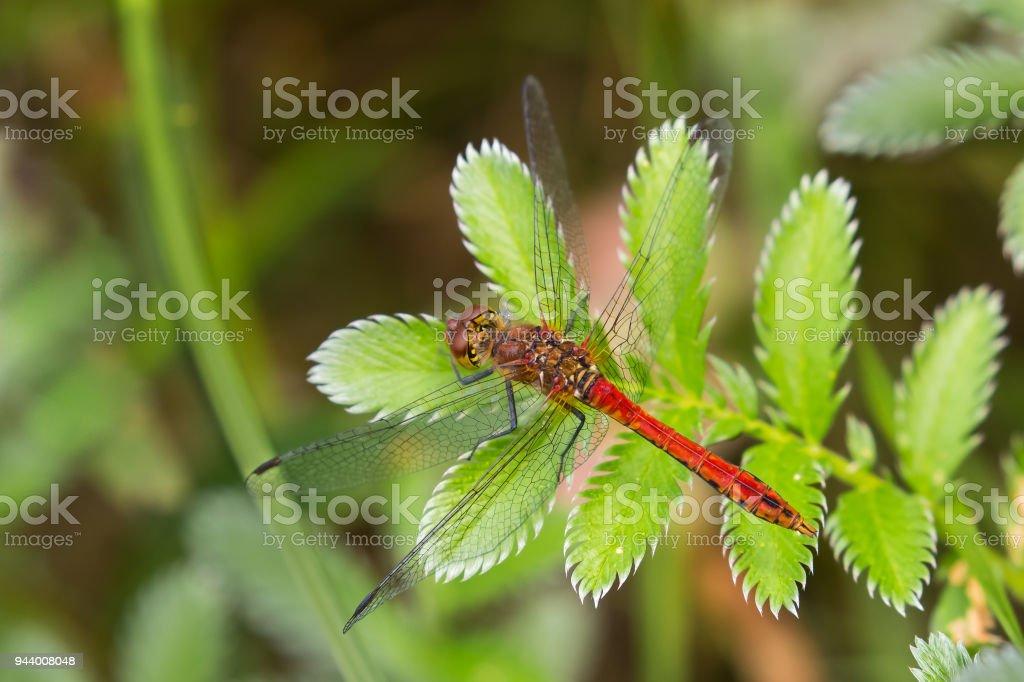Male Ruddy Darter dragonfly settled stock photo