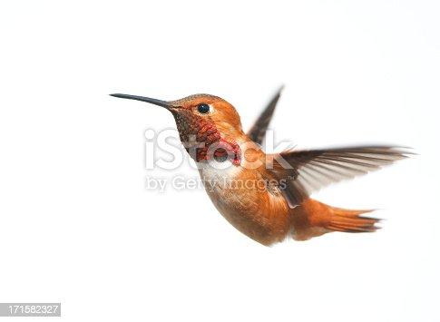 Rufous Hummingbird Male - White Background.