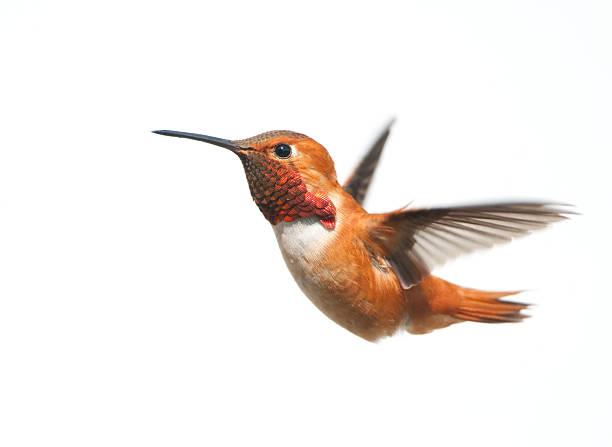 male rufous hummingbird flying on a white background - kolibri bildbanksfoton och bilder