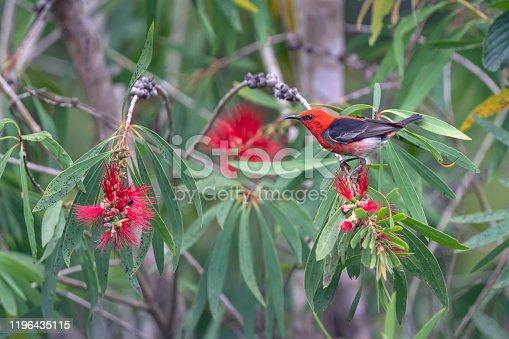 Male Scarlet Honeyeater (Myzomela sanguinolenta) in a bottlebrush plant in Queensland, Australia.