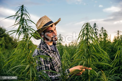 Male scientist checks medical cannabis field. He observing CBD hemp plants on marijuana field and writing results
