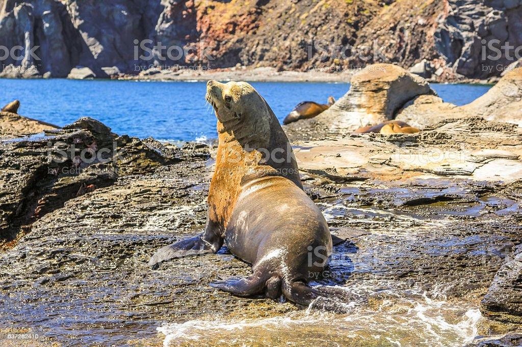 León marino macho - foto de stock