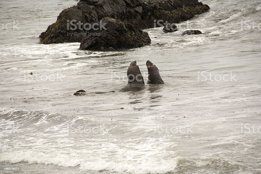 male Seelion at the beach stock photo