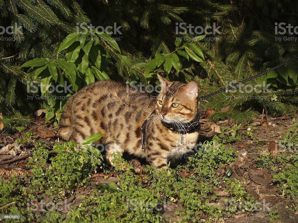 Male Serval Savannah Cat on a Leash royalty-free stock photo