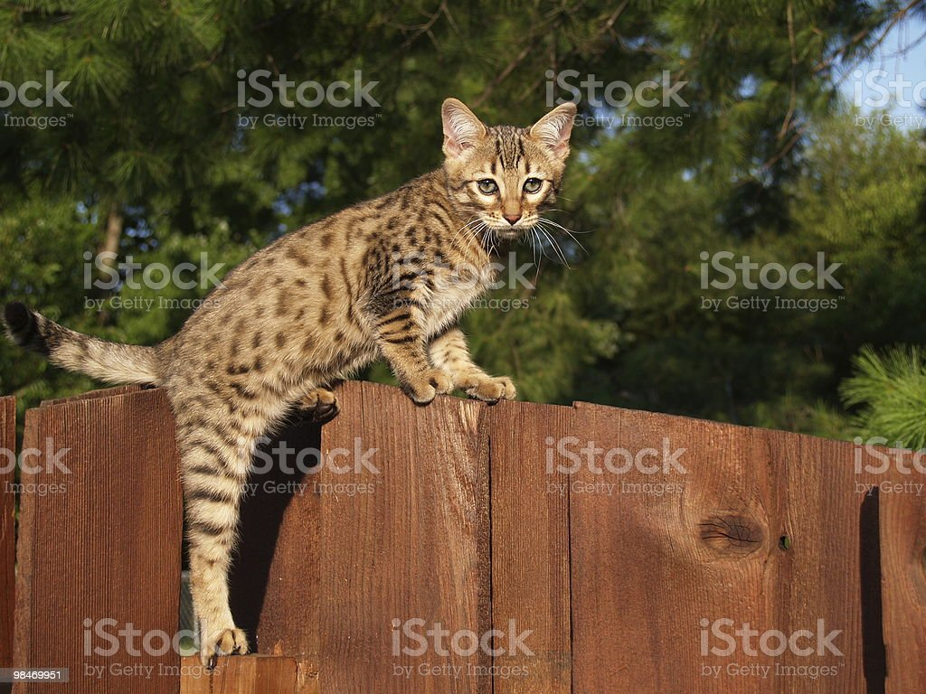 Male Serval Savannah Kitten royalty-free stock photo