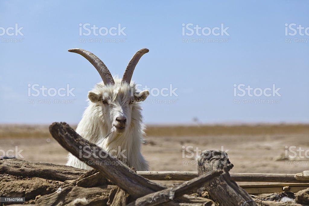 Male sheep royalty-free stock photo