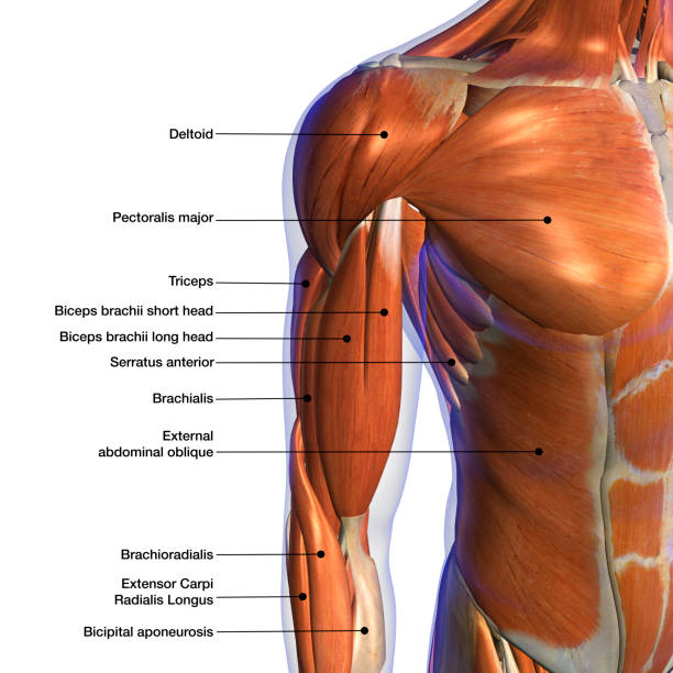 male shoulder and chest muscles labeled chart on white - medical diagrams stock pictures, royalty-free photos & images