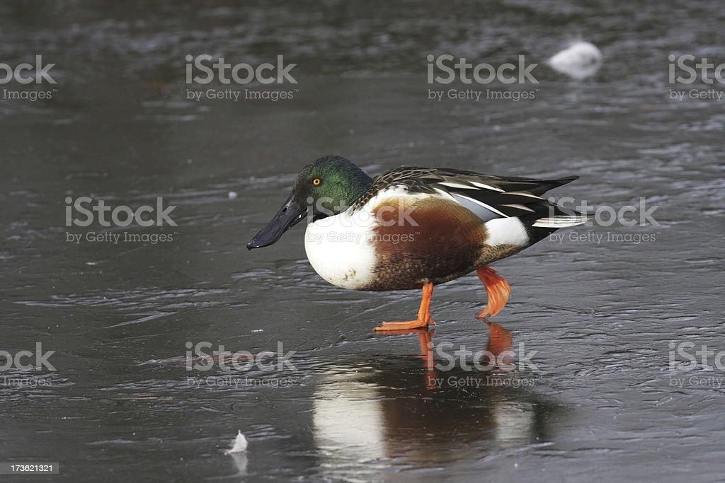 Male shoveler duck walking on icy pond Spatula clypeata royalty-free stock photo