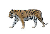 male siberian tiger isolated on white background