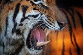 Close shot of a beautiful strong siberian tiger.