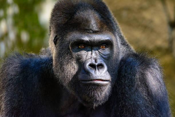 Male silverback western lowland gorilla closeup portrait with vivid picture id1096586010?b=1&k=6&m=1096586010&s=612x612&w=0&h=hmpqcckt7y5f6eaxowjsoan pdzmhzwswnbot fdlb8=