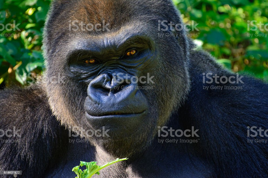 Male Silverback Western Lowland gorilla stock photo