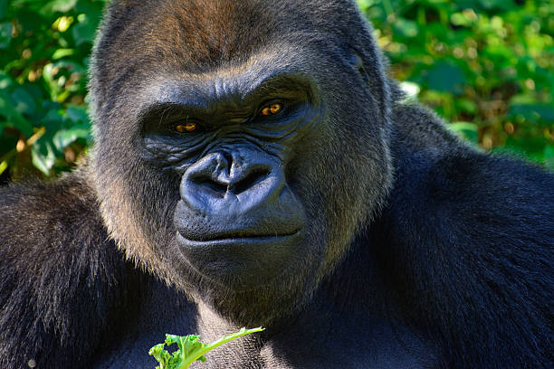 male silverback western lowland gorilla - gorilla stock photos and pictures