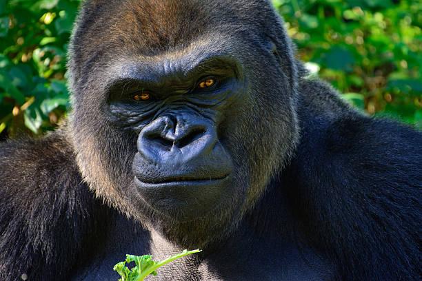 male silverback western lowland gorilla - gorila fotografías e imágenes de stock