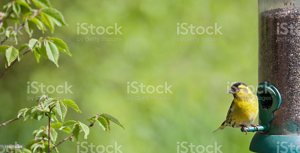 Male Siskin, Carduelis spinus, on nyger seed feeder stock photo