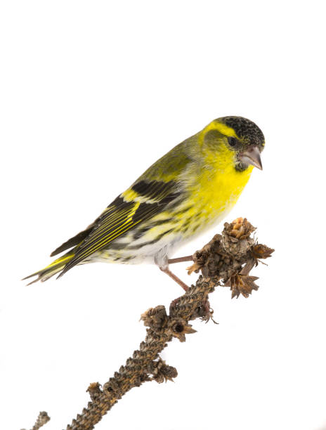 male siskin male siskin isolated on a white background, studio shot finch stock pictures, royalty-free photos & images