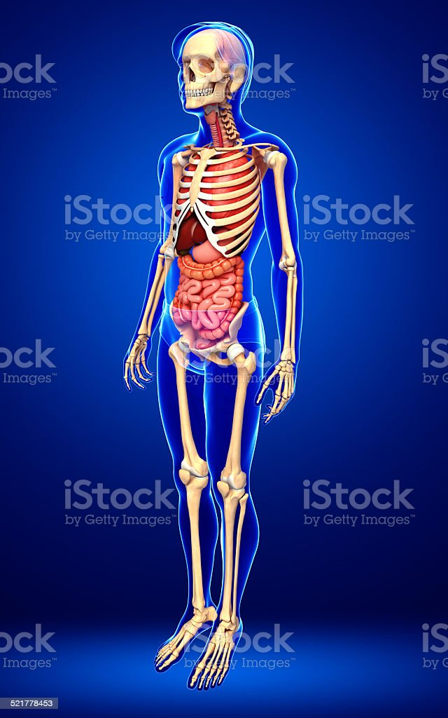 Male skeleton and digestive system stock photo