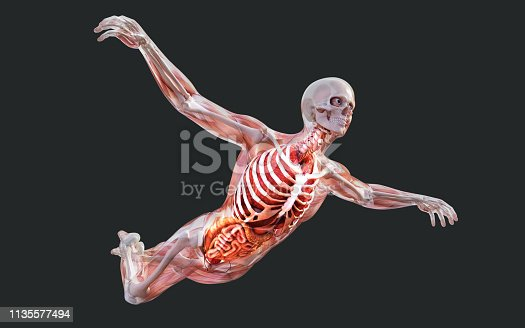 3d Illustration a Male Skeleton Muscle System, Bone and Digestive System with Clipping Path