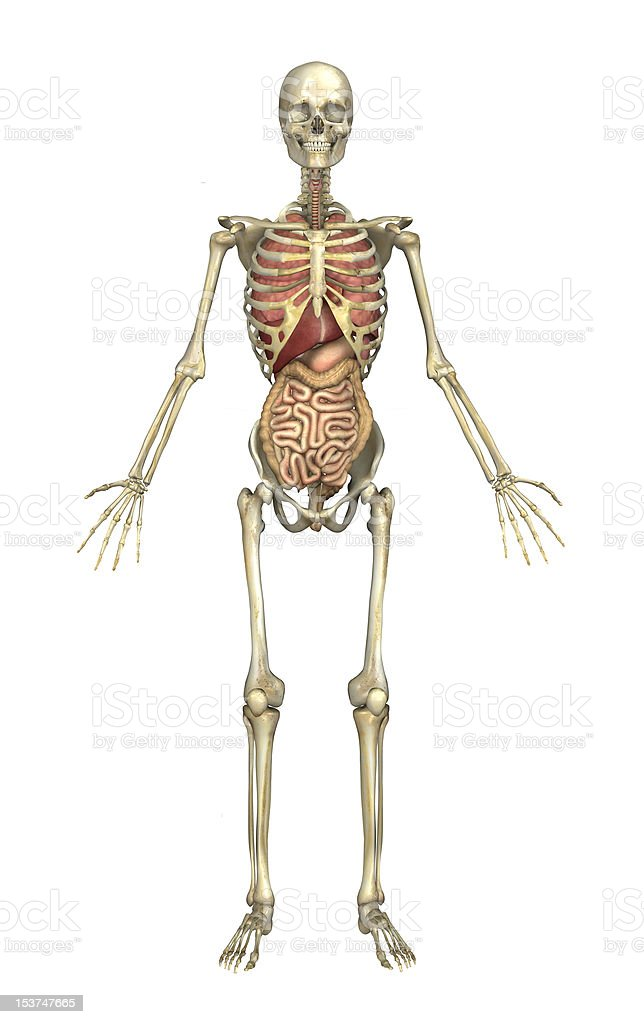 Fotografía de Macho Esqueleto Con Los órganos Internos y más banco ...