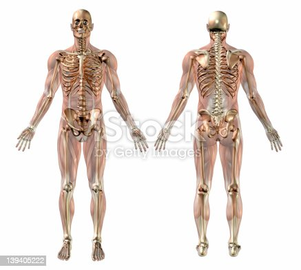 istock Male Skeleton with Semi-transparent Muscles - Front-Back 139405222