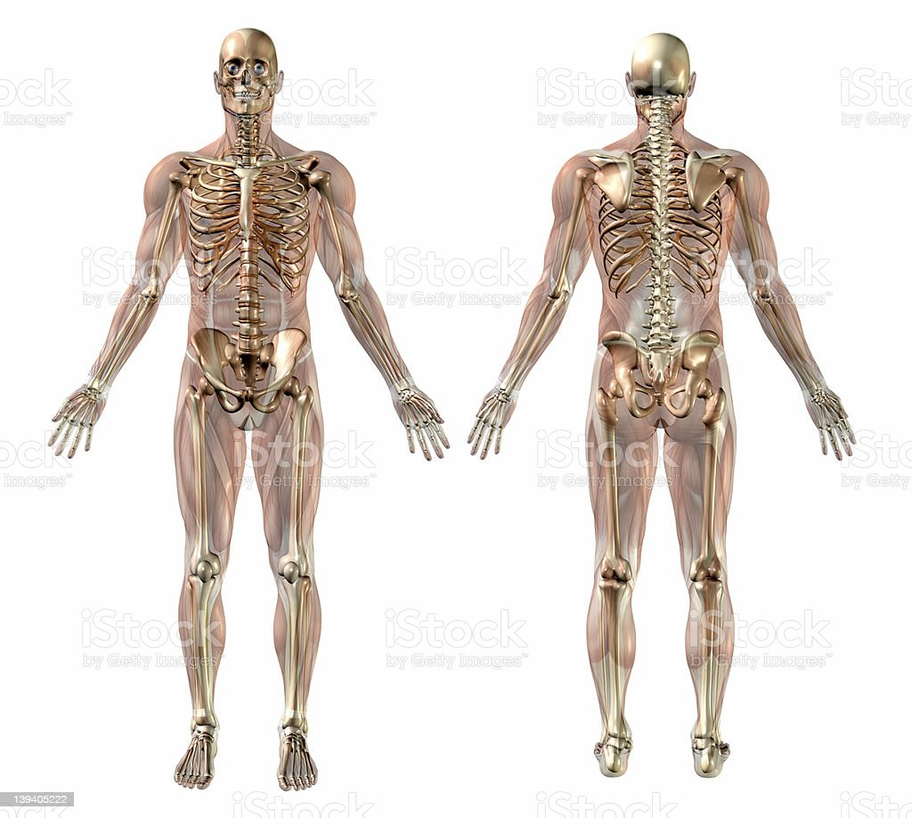 Male Skeleton with Semi-transparent Muscles - Front-Back stock photo