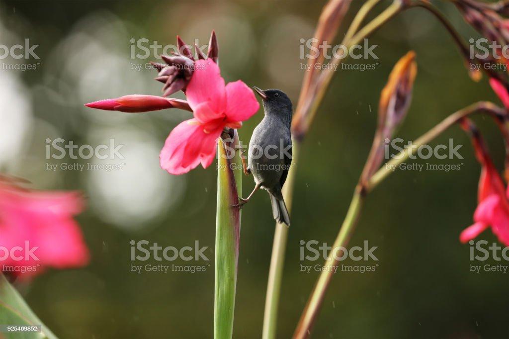 Male Slaty Flowerpiercer on a flower stem, Close-up Portrait, La...