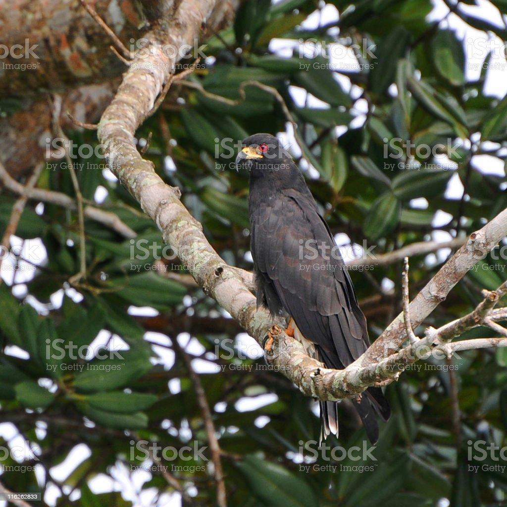 male snail kite, Rostrhamus sociabilis, perched in tree stock photo