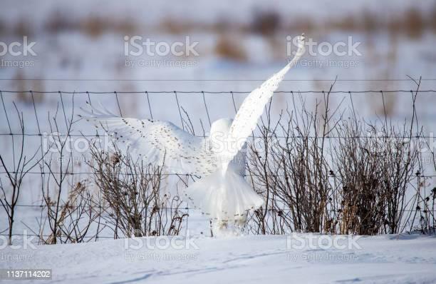 Male snowy owl by fence line picture id1137114202?b=1&k=6&m=1137114202&s=612x612&h=gir3a thbjvf0snnto3m6gycjphadxtmylo8atyyip4=