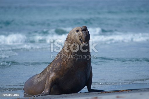 istock Male Southern Elephant Seal coming ashore 889086454