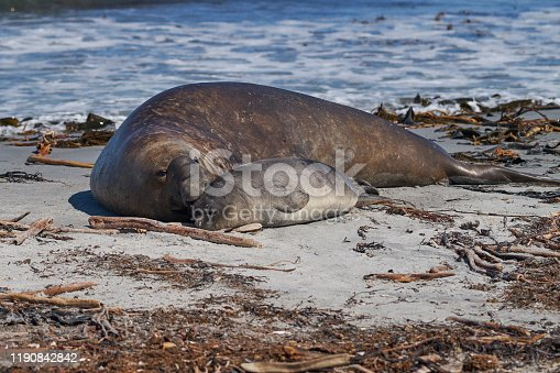 istock Male Southern Elephant Seal with pup 1190842842
