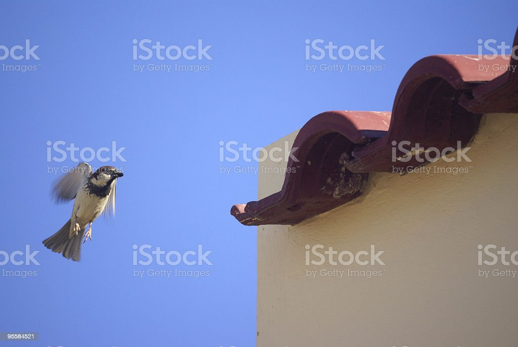 Male sparrow in hover, approaching his nest royalty-free stock photo