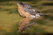 male sparrowhawk in water (Accipiter nisus)