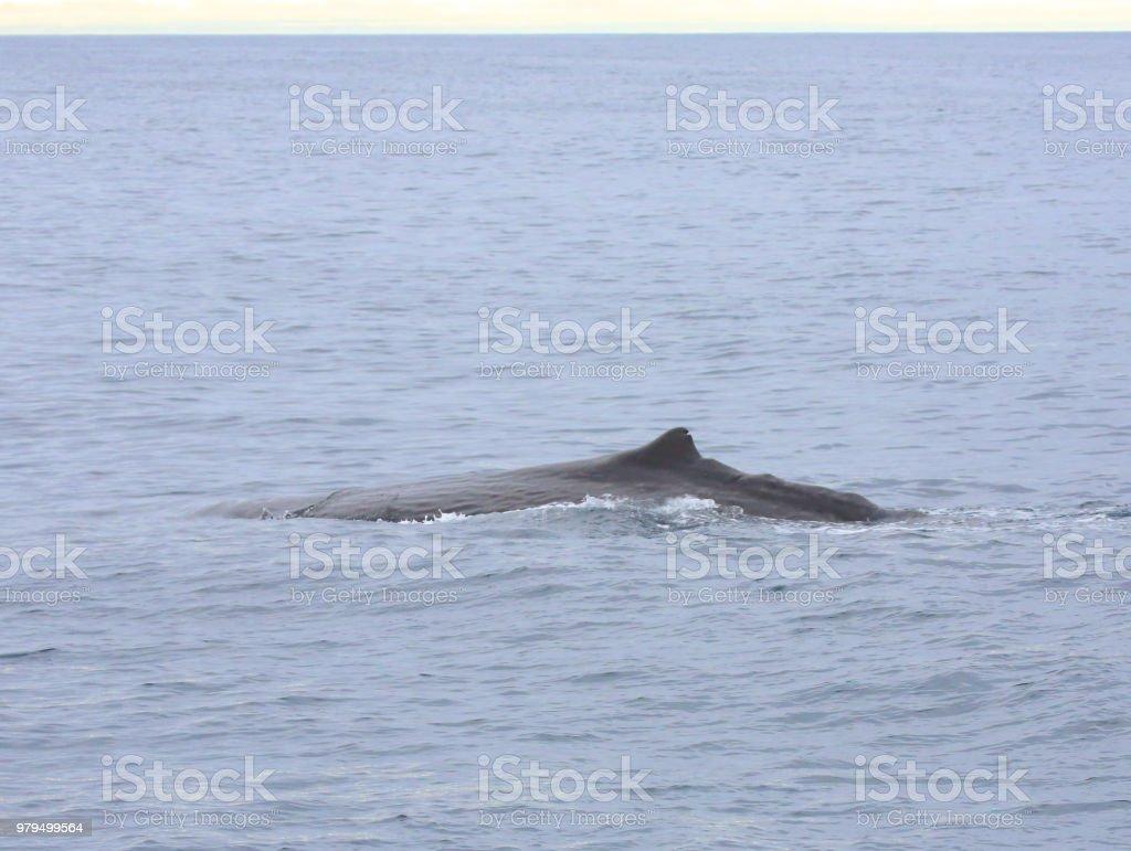 Male sperm whale in Kaikorua, New Zealand. stock photo
