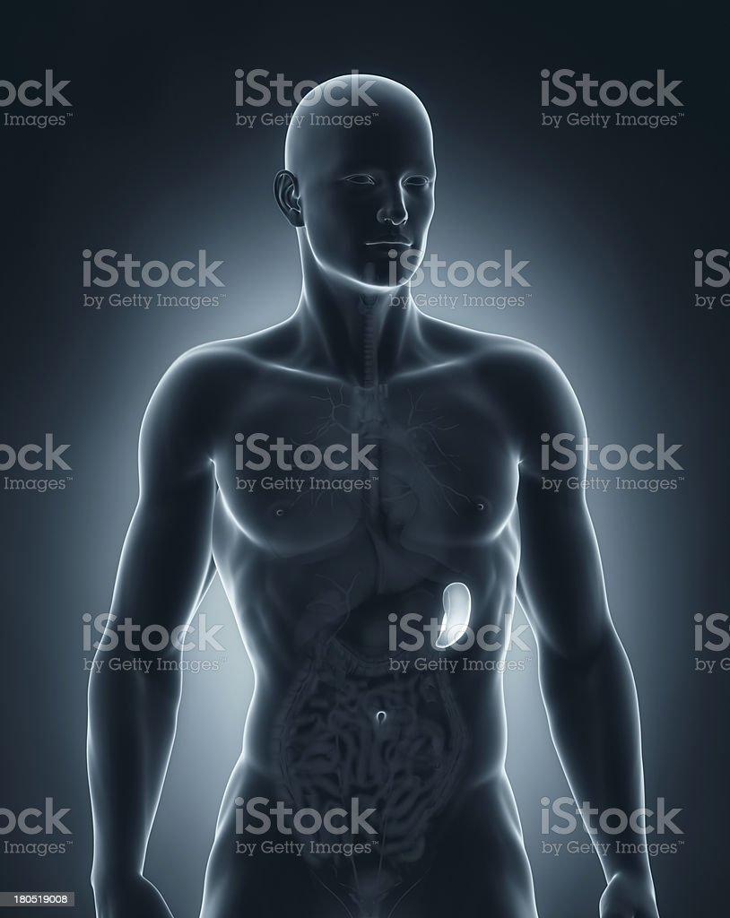 Male spleen anatomy anterior view stock photo