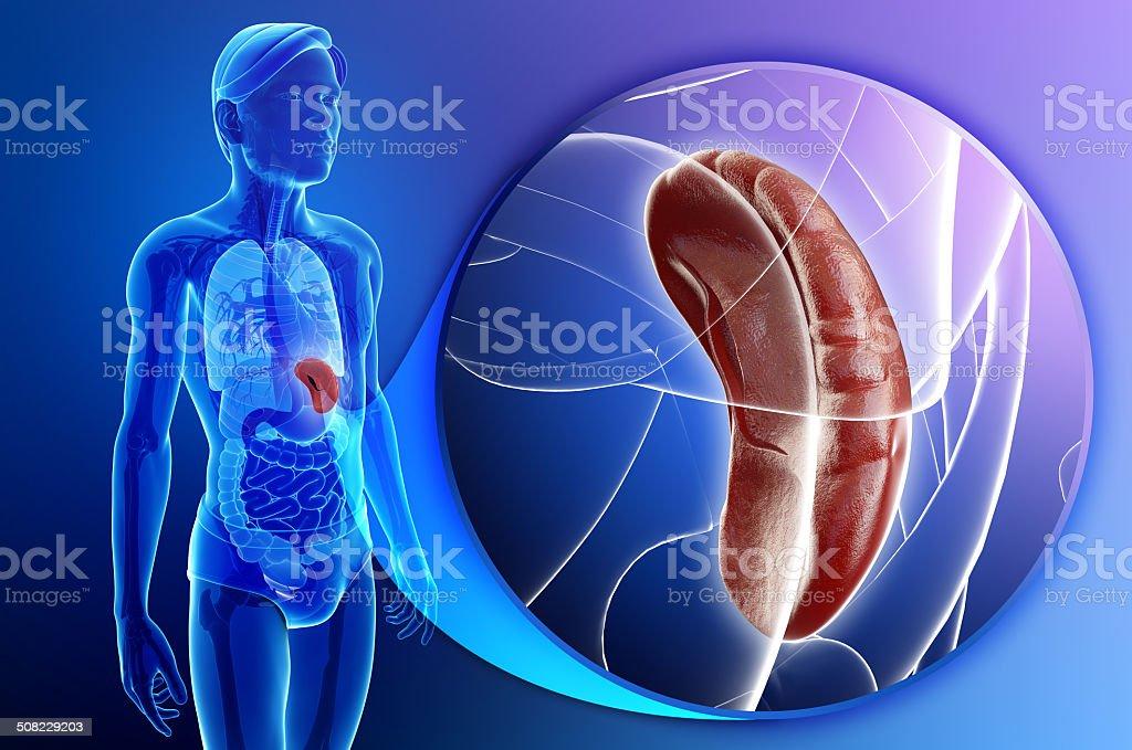 Hombre anatomía del bazo - foto de stock