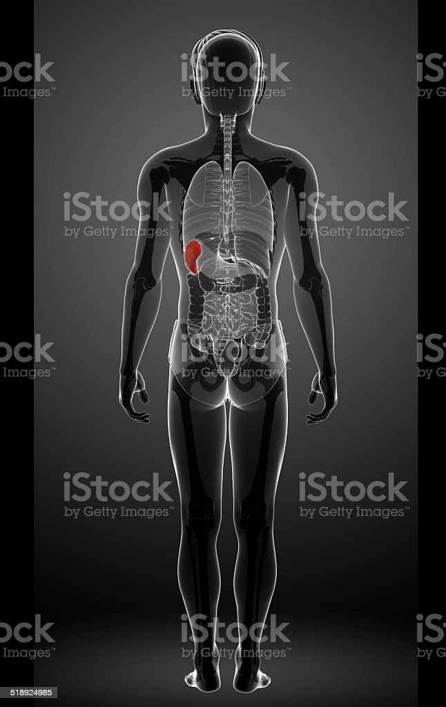 Male spleen anatomy stock photo