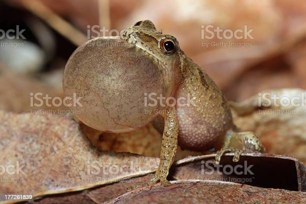 Photo of Male Spring Peeper Calling For a Mate