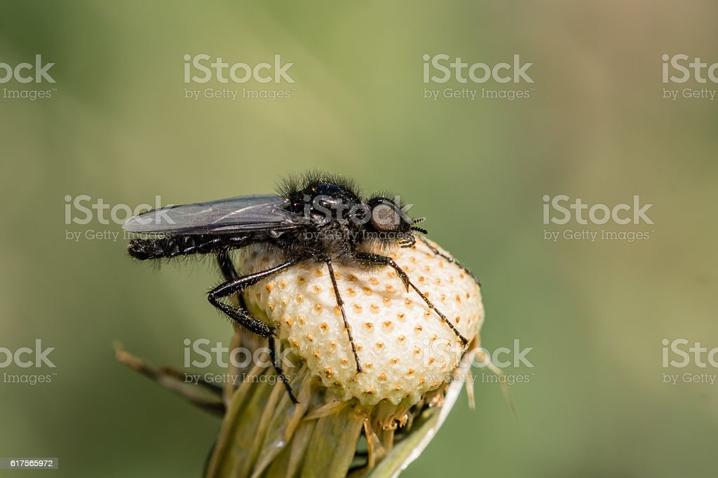 Male St Marks Fly  Bibio marci on Dandilion Head.  Macro stock photo