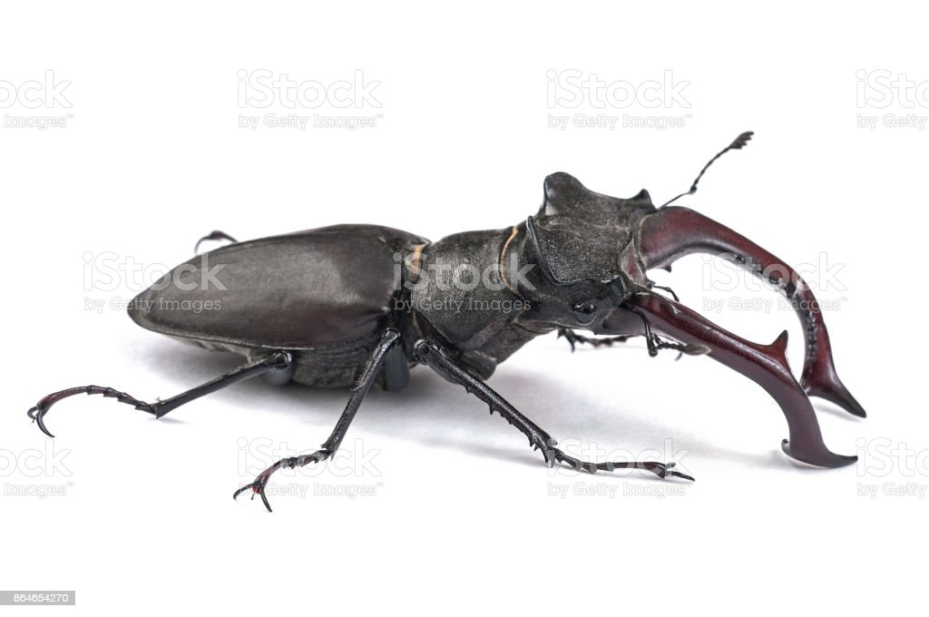 Male Stag Beetle Bug Insect, Close-up side view isolated on white background stock photo
