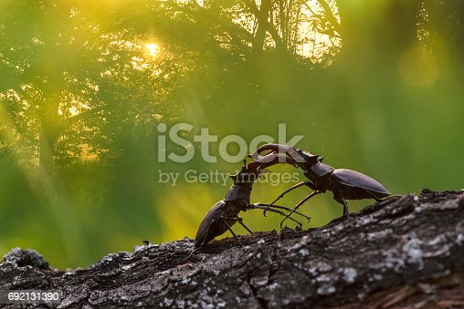 Two male stag beetles fighting for the female.