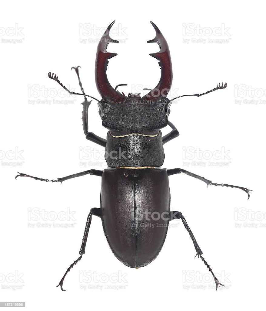 Male Stag Beetle Lucanus Cervus Isolated On White Background Stock ...