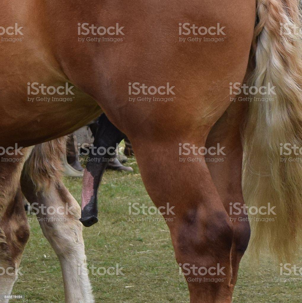 Секс с кобылой коровой