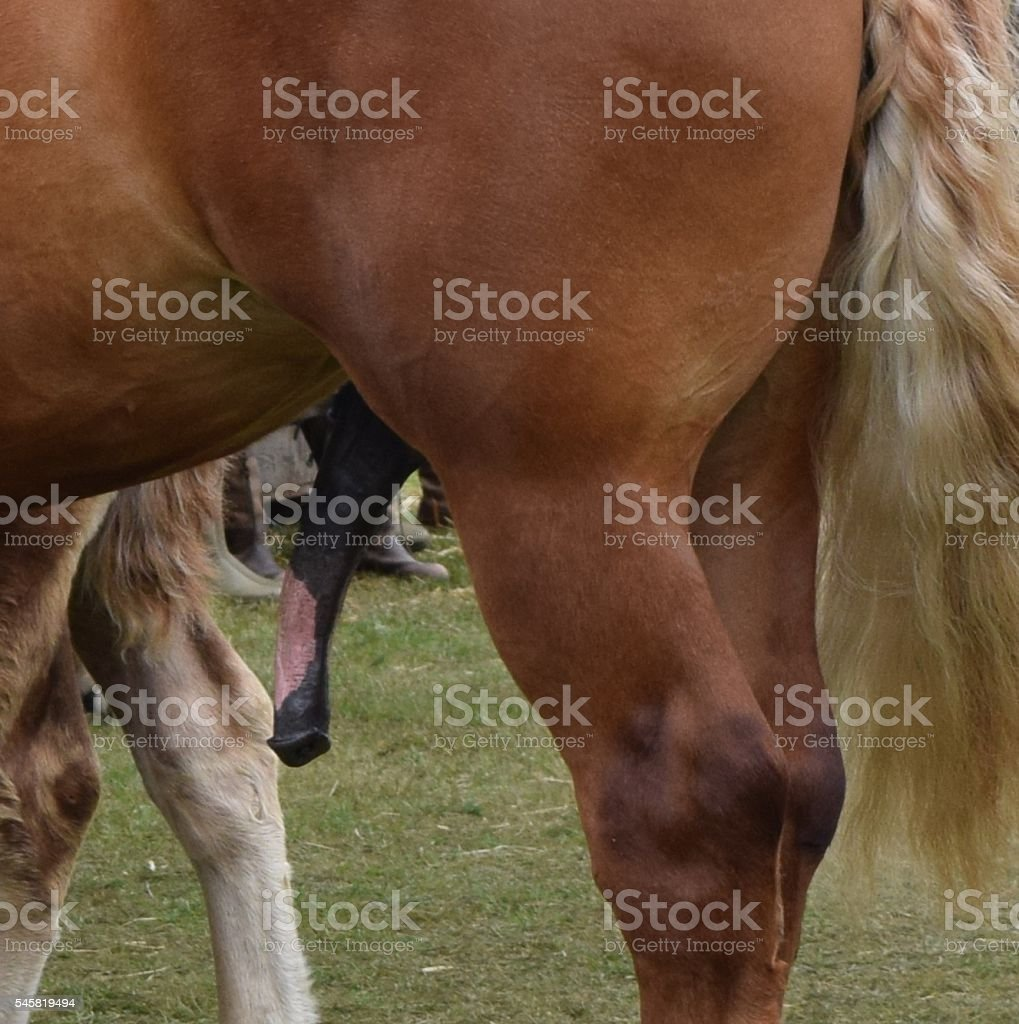male stallion shire horse close up penis private parts stock photo