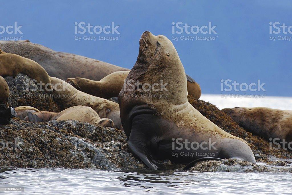 male Steller sea lion, Eumetopias jubatus royalty-free stock photo