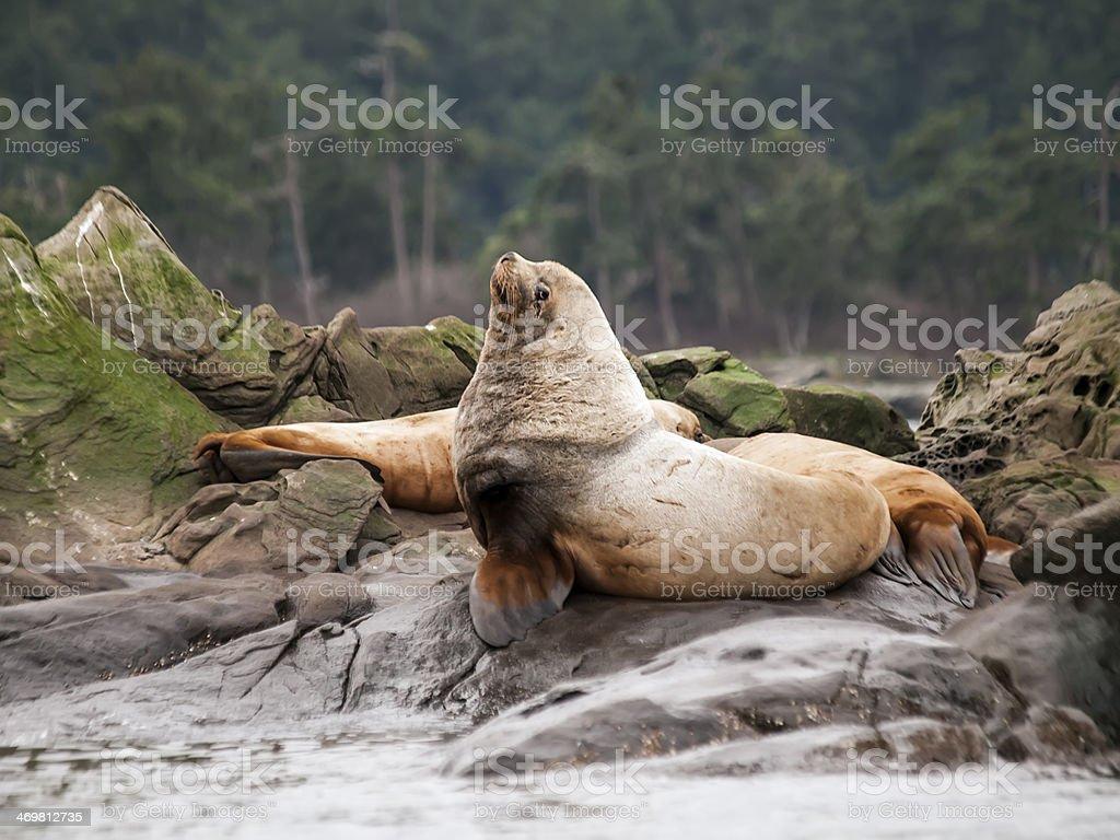 Male Steller Sea Lion stock photo